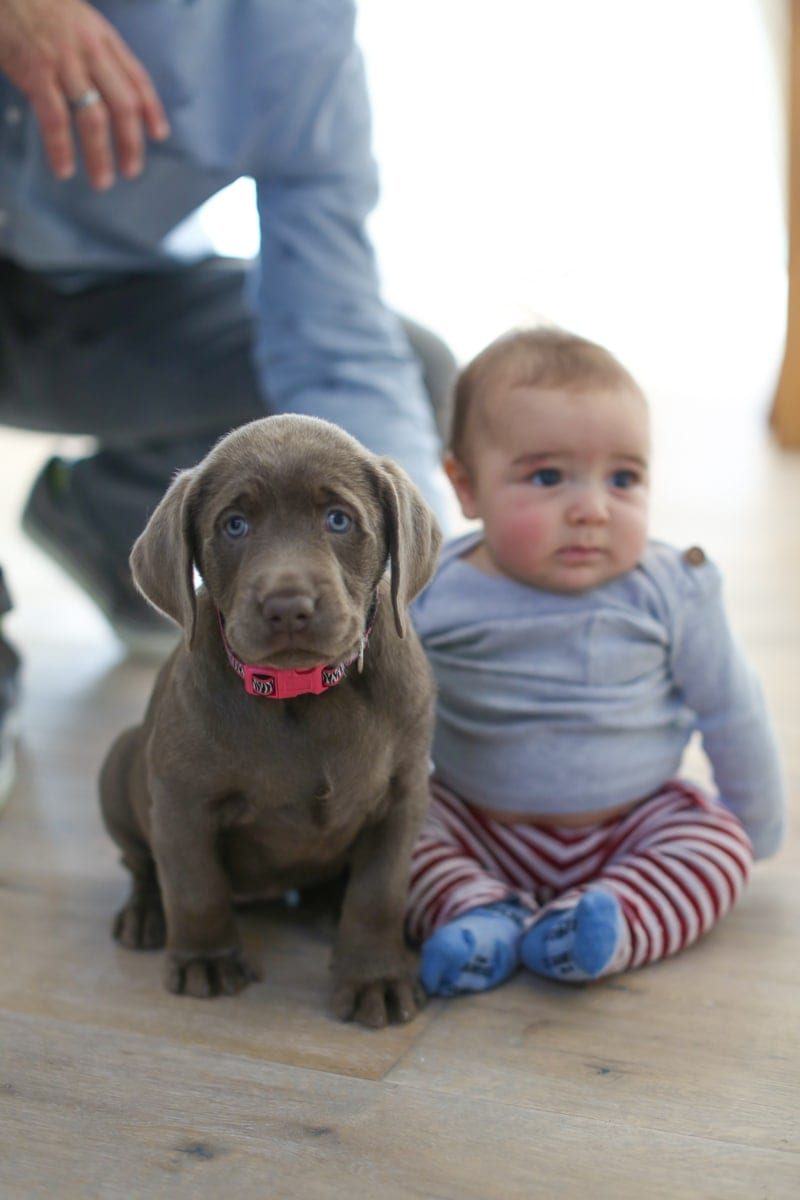 Cute puppy labrador