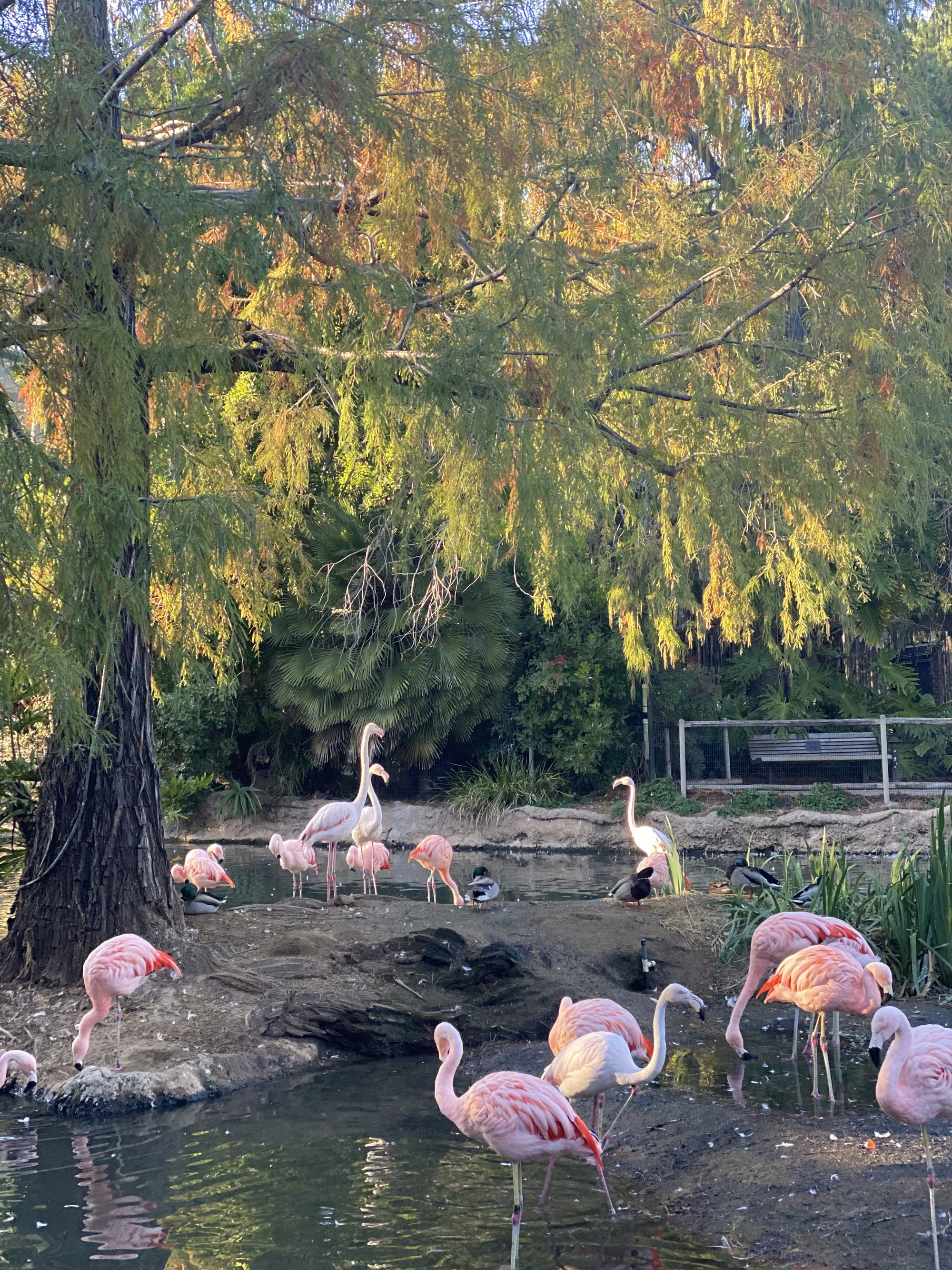 pink flamingos at zoo