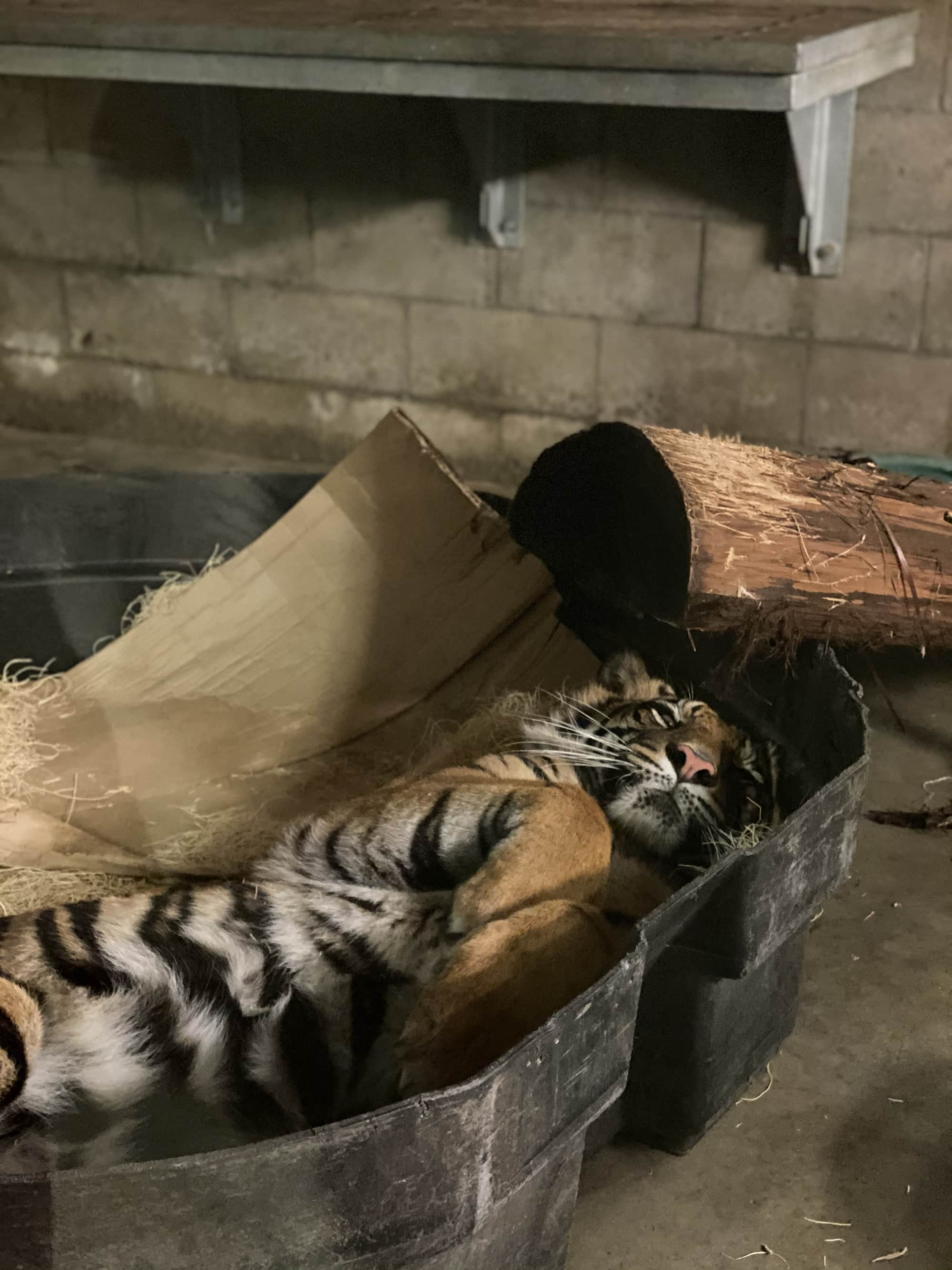 sleeping tiger in zoo
